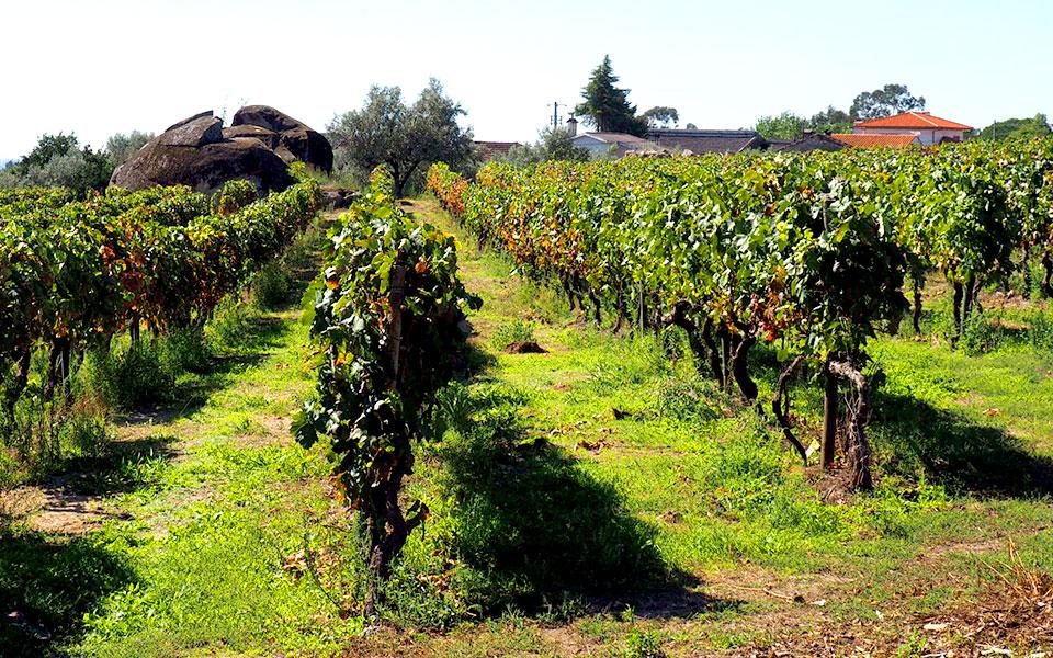 Paisagem de vinhas localizadas na zona do Dão