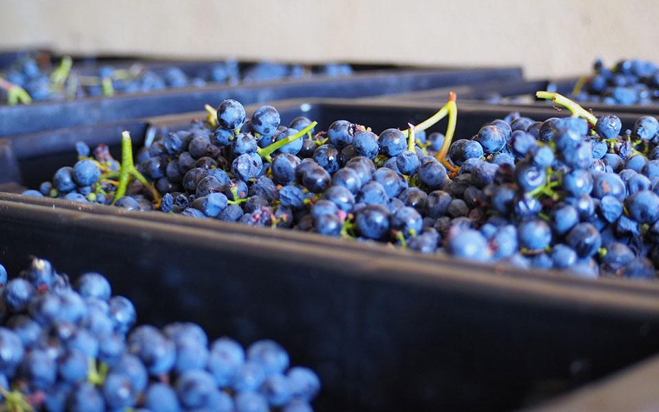 Muitos cachos de uvas, já encaixotadas após a apanha da uva